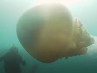 Gigantická medúza