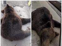 Telo medveďa bolo nájdené na diaľnici medzi Žilinou a Bytčou.