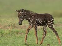 Bodkovaná zebra je veľkou raritou