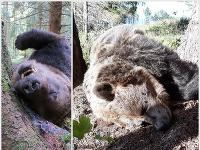 Mŕtvy medveď v NP Veľká Fatra.