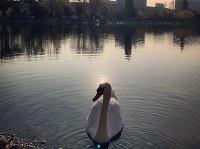Na Štrkoveckom jazere sa znova objavili labute.
