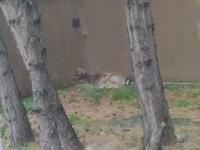 V Bratislave sa pohybovala lesná zver.