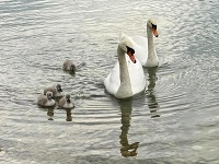 Labutiu dvojicu poslušne sprevádzajú štyri mláďatá.
