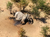 Uhynutý slon leží v delte rieky Okavango na severe Botswany