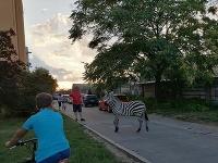 Hasiči asistovali pri odchyte zebry v Piešťanoch