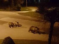 Medvede vo Vysokých Tatrách