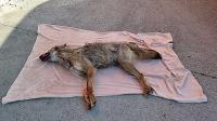 Vodič v Bratislave zrazil zviera, ktoré sa podobá na vlka