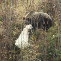Útočiaci medveď
