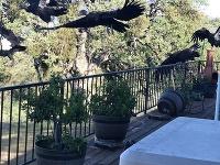 Kondor kalifornský môže vážiť až 11 kilogramov a rozpätie jeho krídel môže dosahovať takmer tri metre.