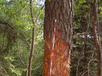 Muži zo stromov orezávali kôru