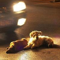 Pes neopúšťa svojho mŕtveho kamaráta