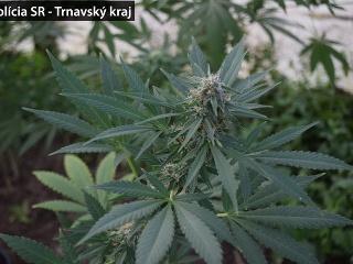 Pestovateľovi marihuany z Bučian
