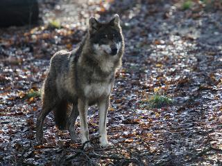 Vlky sa na Slovensku