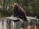 Medveď sa kŕmil až