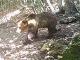 Unikajúci medveď