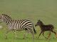 Bodkovaná zebra je veľkou