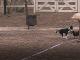 Pes Guľo často naháňal