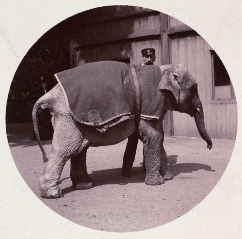 Sloníča v zoo, cca