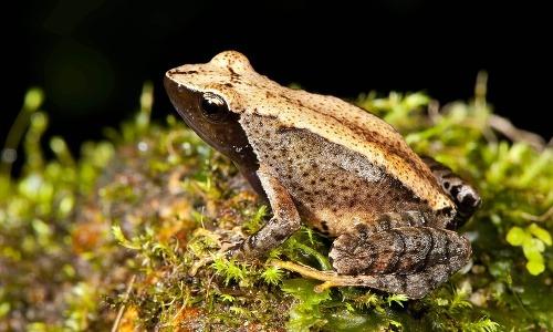 Tancujúce žaby