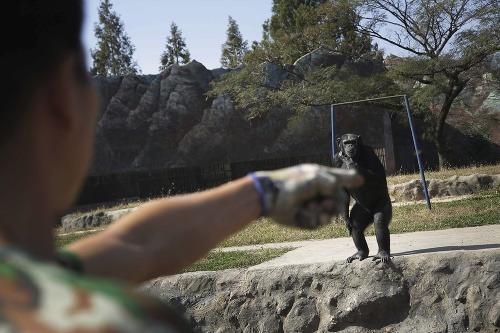 Fajčiaci šimpanz