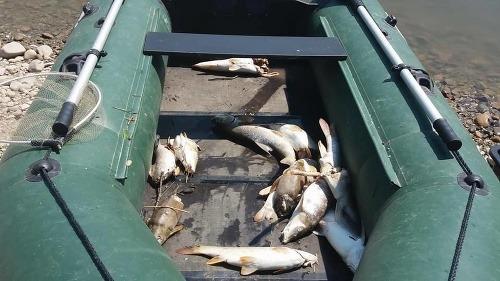 Záhadné úmrtie rýb pri
