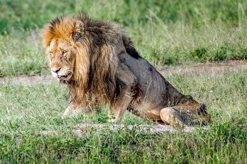Vyhladovaný lev tesne pred