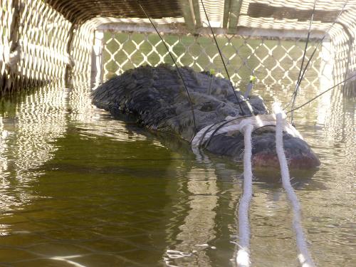 Chytili krokodíla, ktorý ochranárom
