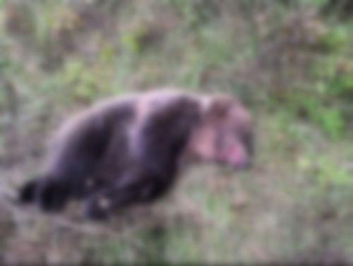 Zrážka vlaku s medveďom