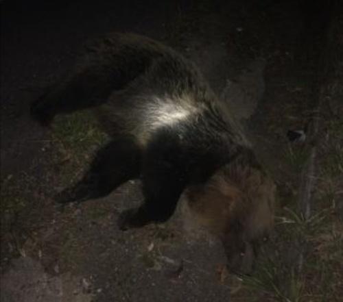 Zrazený medveď na ceste