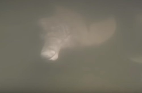 Riečny druh delfína Inia