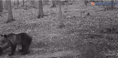 Hubára napadol medveď.