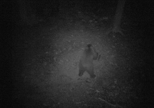 Medveď v Pezinku.