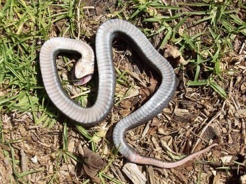 Úrady varujú pred hadom