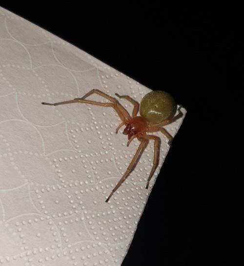 VIDEO pavúka, ktorý máta