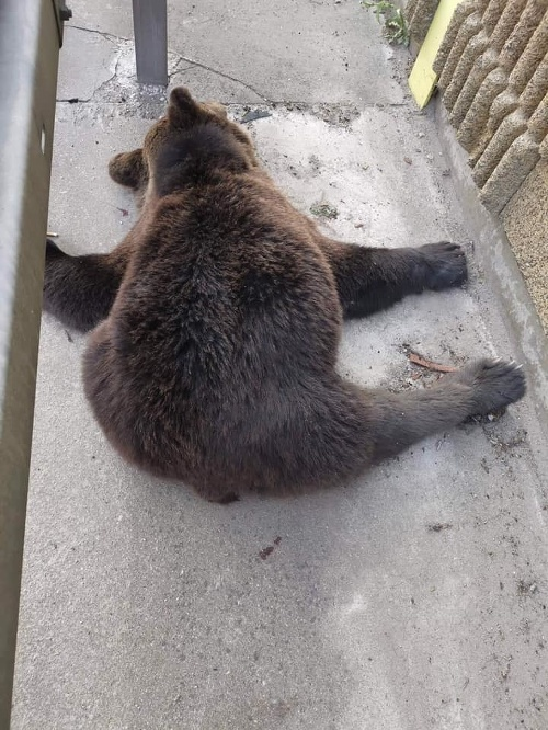 Telo medveďa bolo nájdené