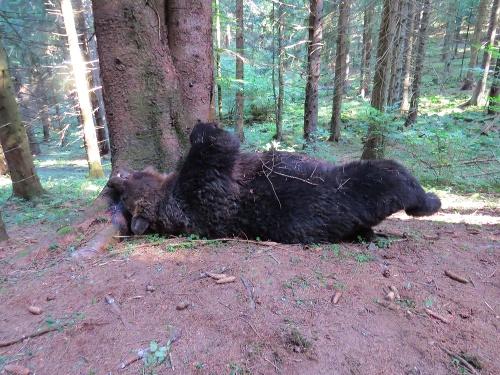 Zastrelený medveď v národnom