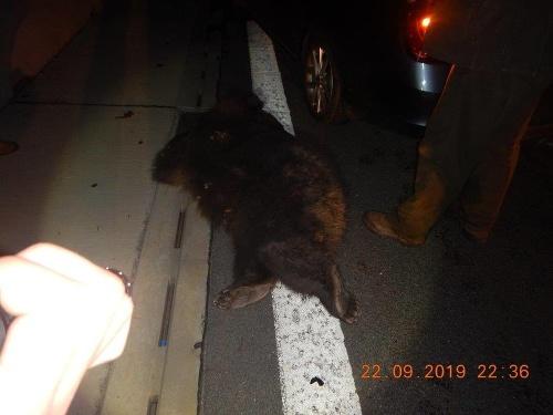 Vodičovi skrížil cestu medveď.