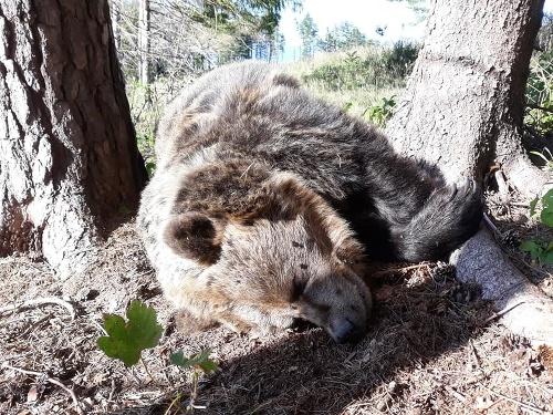 Mŕtvy medveď v NP