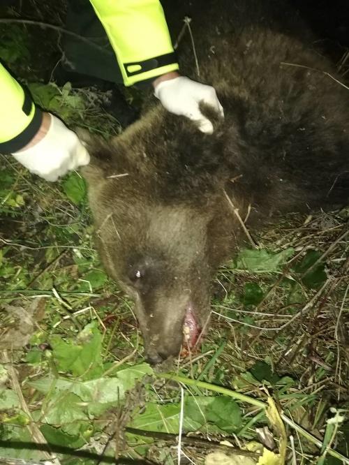 Ďalší zrazený medveď v