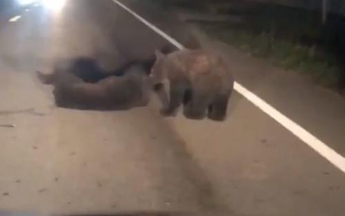 VIDEO Medvieďa zrazilo auto: