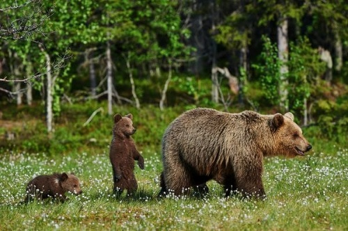 Ďalší medveď v akcii!