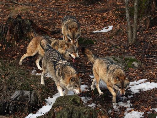 Zaradenie vlka medzi chránené