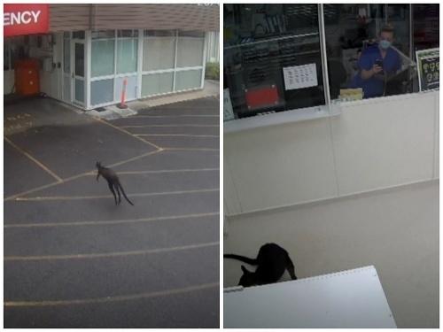 Do nemocnice pricupkal klokan!