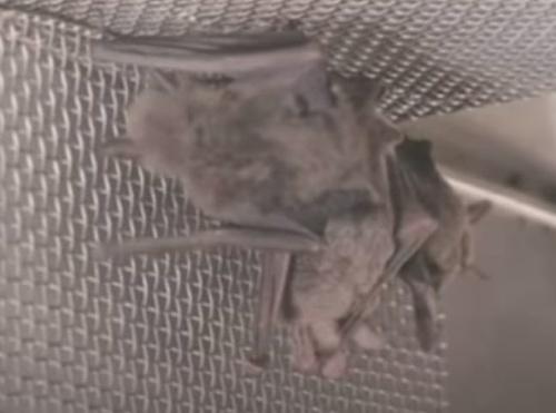 Video má zachytávať netopiere