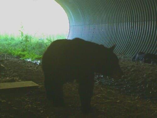 Ďalšia medvedica s mladými: