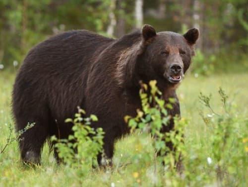 Ďalší útok medveďa na
