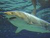Žralok modrý (Carcharodon carcharias)