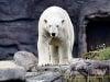 Medveď biely