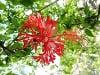 Hibiscus hareyae