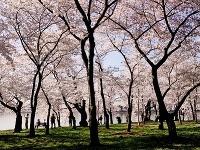 Kvitnúce japonské čerešne, Washington